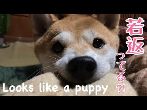 遊んでる時の顔が子犬みたいな成犬 Face looks like a puppy - YouTube
