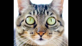 Бразильская короткошерстная кошка (Brazilian shorthair cat) породы кошек( Slide show)!