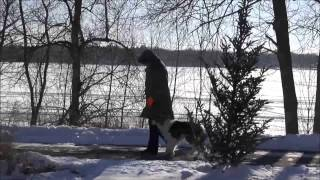 Charley (border Collie) Boot Camp Dog Training Video
