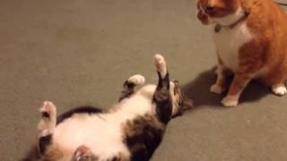 Прикольные кошки  котенок Забавно смотреть!!