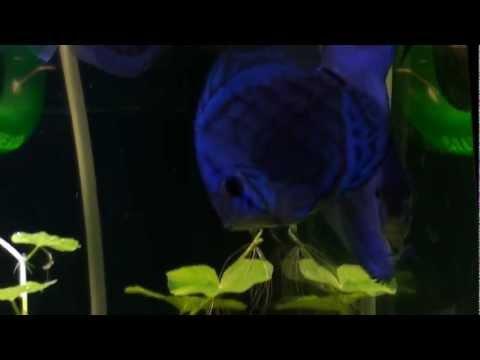 New Fish! Cobalt Blue Discus.