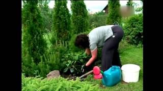 Рододендрон садовый посадка и уход ч.2