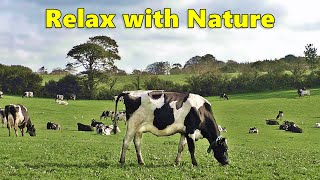 Relax Your Dog TV  Videos for Dogs ⭐ Relaxing 8 HOURS of Grazing Cows ⭐ Nature Relaxation Films