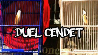 Download lagu Duel Cendet Gacor Narung Mental Baja Cendet Bongkar Isian MP3