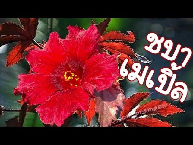 ?????????????   cranberry hibiscus, African rosemallow