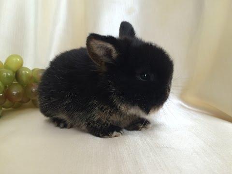 Карликовый кролик. Окрас чёрный оттер. Питомник декоративных карликовых кроликов Зайкина усадьба