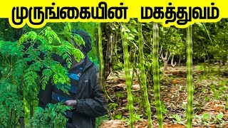 Murungai Keerai | முருங்கை வளர்ப்பு பற்றி யாருக்குமே தெரியாத ரகசிய தகவல்கள் | Murungai