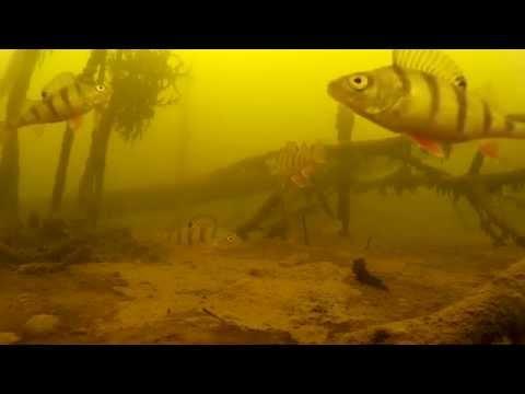 Ловля окуня на блесну и балансир. Подводная видеосъемка. 03.2015 р. Волга. Perch fishing underwater.