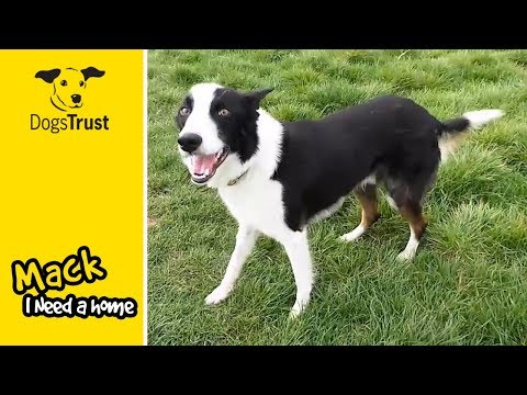 Mack is a Beautiful Young Border Collie Who is in Need of Lots of Love! | Dogs Trust Darlington