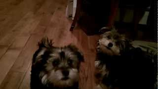 Tiny Morkie Puppies Playing Fetch