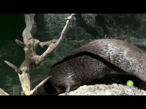 North American River Otter Ashkii at the Smithsonian's National Zoo