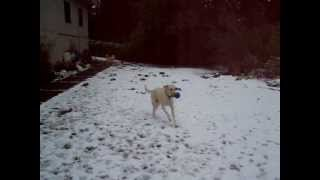 Lab With Cnm (centronuclear Myopathy) Plays In Snow, Starring Noodle The Wonder Labrador Retriever