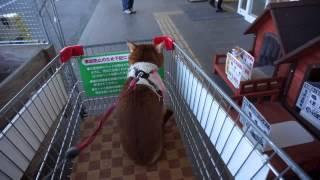 りんは、ショッピングカートに乗るのが好きです。 カートに乗った後は、...