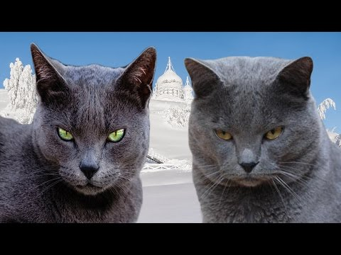 Russian Blue vs Chartreux - Difference Explained