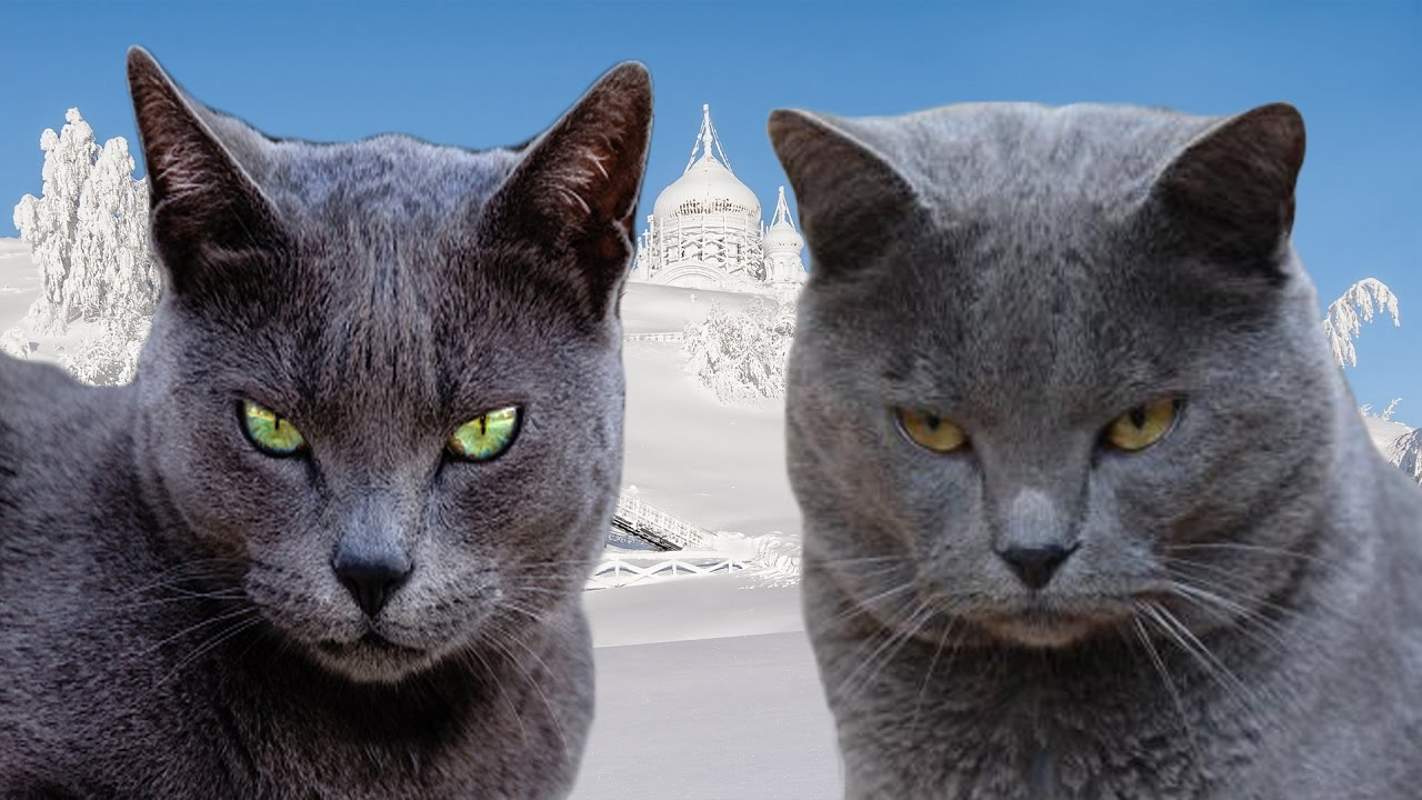 Russian Blue vs Chartreux Difference Explained