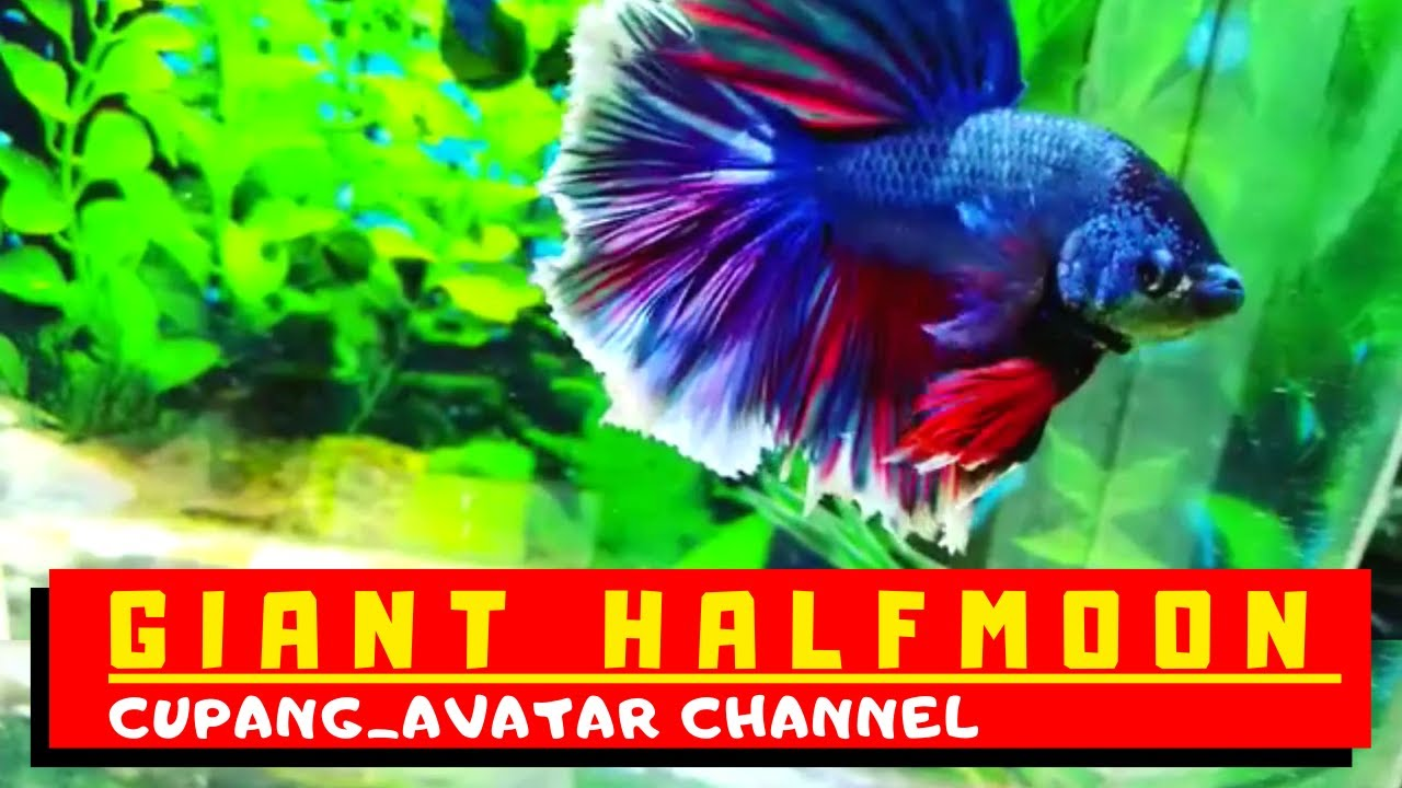 Ikan Cupang Hias Giant Halfmoon Super Indah - YouTube