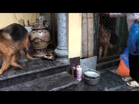 2 chó mẹ đang mang bầu-Trại chó Trần Gia-0904160476- chó nhập khẩu từ Đức