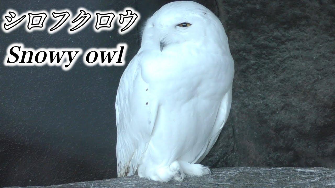 【フクロウ】極寒の空のハンター シロフクロウの生態〜「ハリーポッター」でお馴染みの猛禽類(Snowy owl)〜