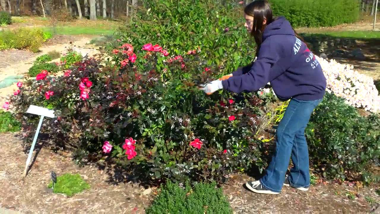 How To Prune Your Knockout Roses In The Fall 1