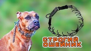 Строгий ошейник дрессировка собак живодерство