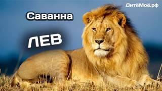 Лев. Энциклопедия для детей про животных. Саванна