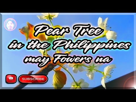 Pear Tree in the Philippines finally has flowers