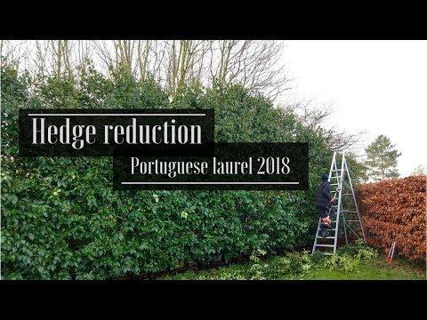 Big Hedge Reduction Job (Portugues laurel)