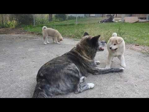Japanese Akita mother with her pups
