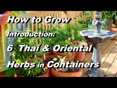 Introduction: Grow 6 Asian Herbs in Containers Basil, Peppers, Lemongrass, Kaffir Lime, Cilantro
