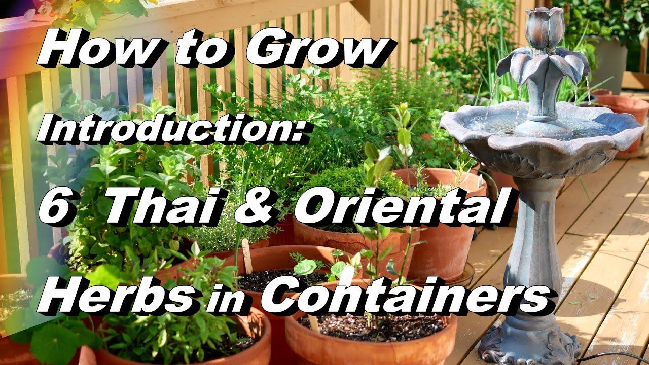 How to grow lemon grass - Introduction Grow 6 Asian Herbs In Containers Basil Peppers Lemongrass Kaffir Lime Cilantro