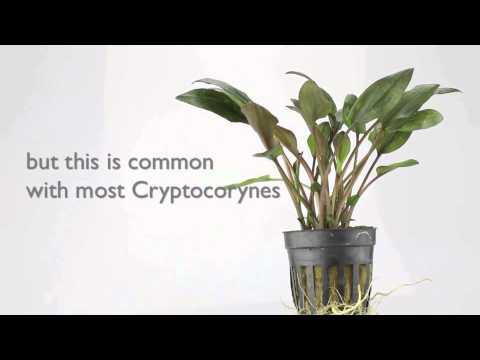 Cryptocoryne wendtii brown - an easy to grow Aquarium Plant