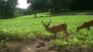 Food Plots For Deer: How To Have The Best Food In the Neighborhood (#240) @GrowingDeer.tv
