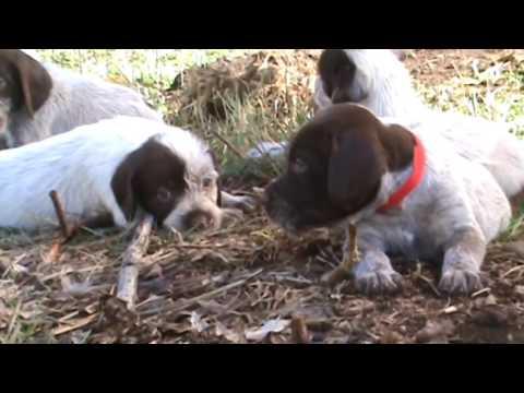 GWP Puppies--5 weeks old (HooverxFire)