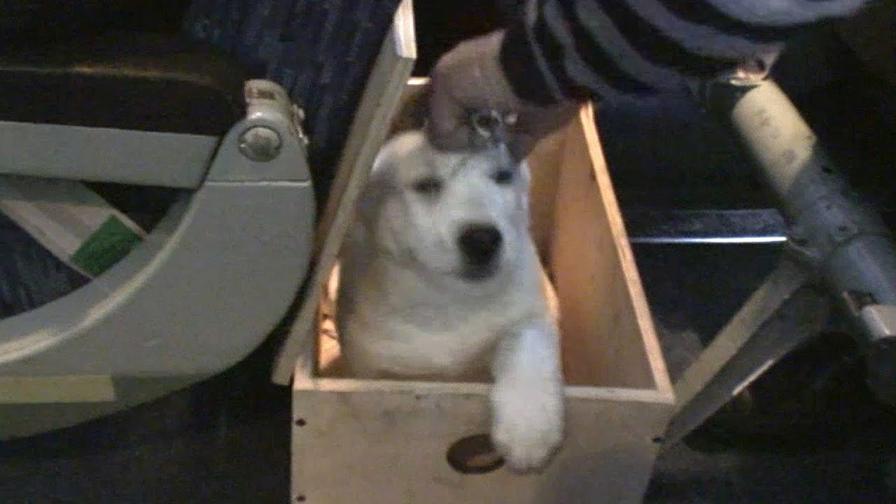 Dog in a passenger plane cabin youtube for Small dogs on airplanes