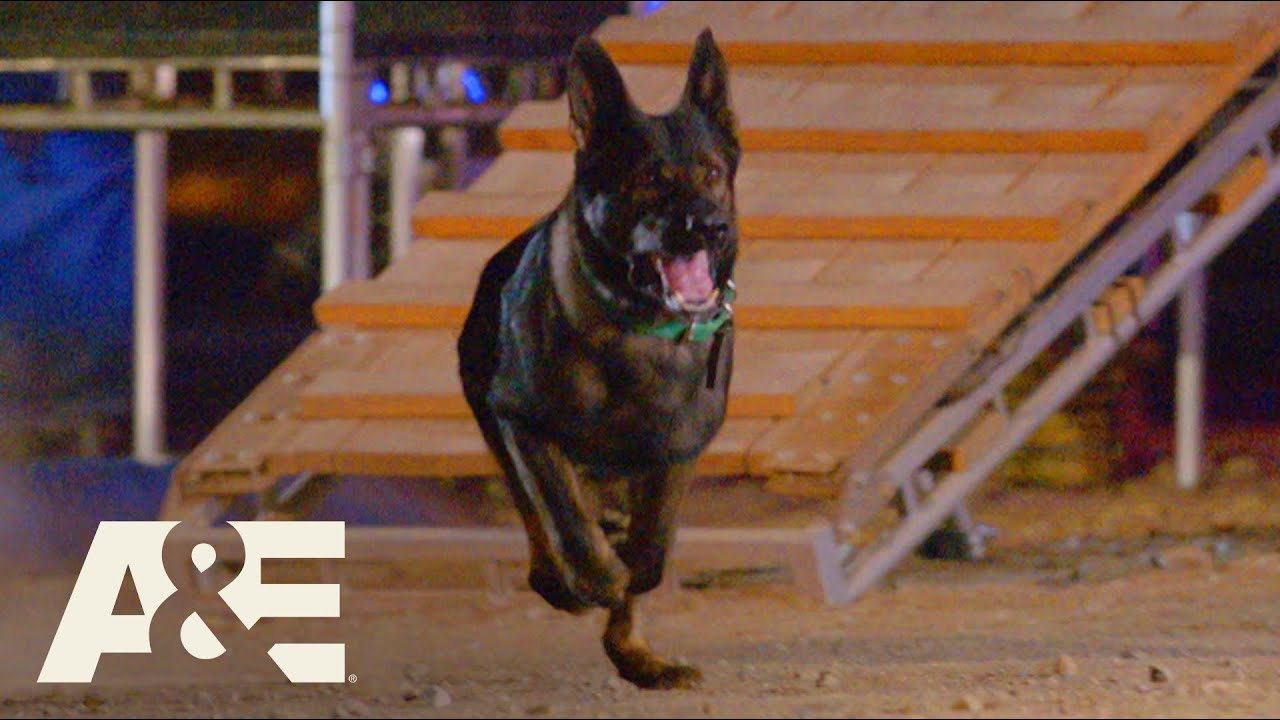 Live PD K9 Dax Competes Against Falco in Fast Timed Race | America's Top Dog (Season 1) | A&