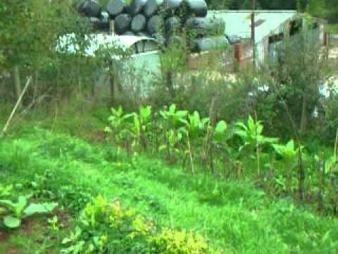 Growing Golden virginia tobacco in the UK part 1.