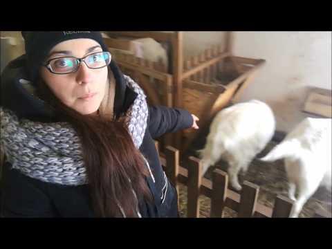 Вопрос: Можно ли сводить козла с козочкой собственного помета?