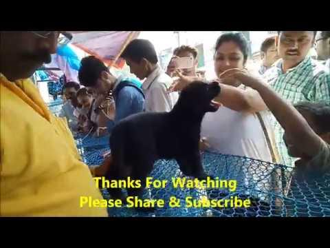 Excellent Quality Black Beauty Lab Adopt By A Beautiful Lady l Galiff Street Pet Market Kolkata