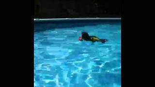 Toy Poodle Fetching A Ball In The Pool While Wearing A Life Jacket.