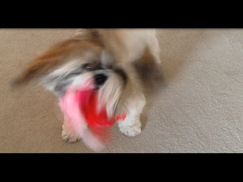 shih-tzu-dog-lacey-is-doing-her-crazy-head-shake