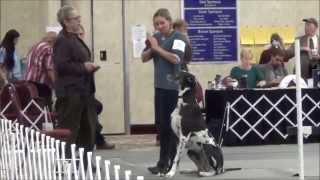 Great Danes Obedience Utility 2 - 2014 Gdca National Specialty