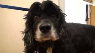 Pet Of The Week: King Duke [cocker Spaniel]