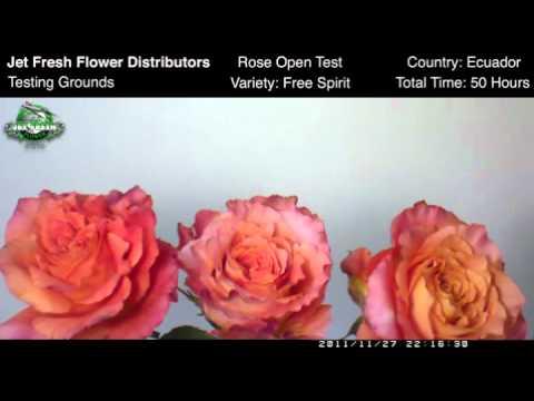 Free Spirit Rose Open Test Jet Fresh Flowers Youtube