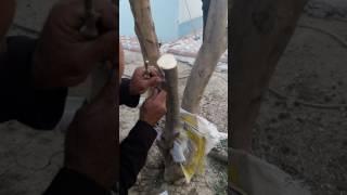 aşı yapımı zeytin ağacı