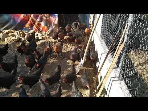 Tavukların Gezinti Zamanı