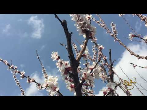 Background hoa đào trắng ngày tết 5