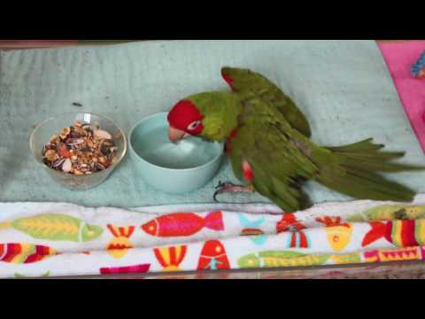Disabled Conure Gives Herself a Bath