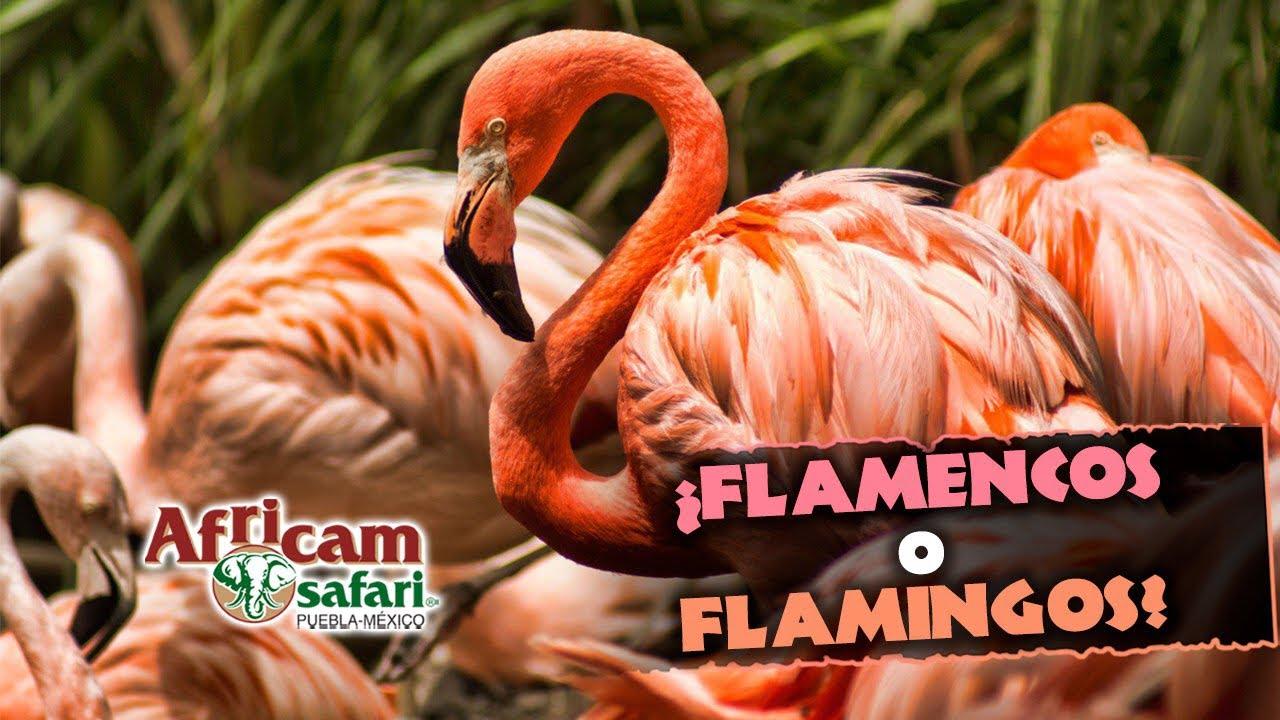 ¿Flamingos o flamencos? 🦩   con Frank Carlos Camacho desde Africam Safari