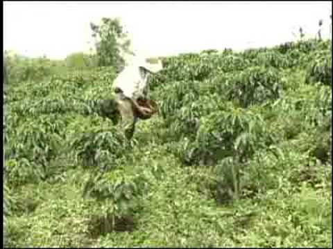 Fertilizacion de cafe 2da parte youtube for Fertilizacion de estanques piscicolas