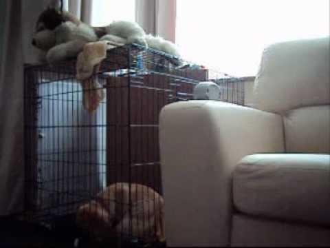 Labrador retriever is just bored!
